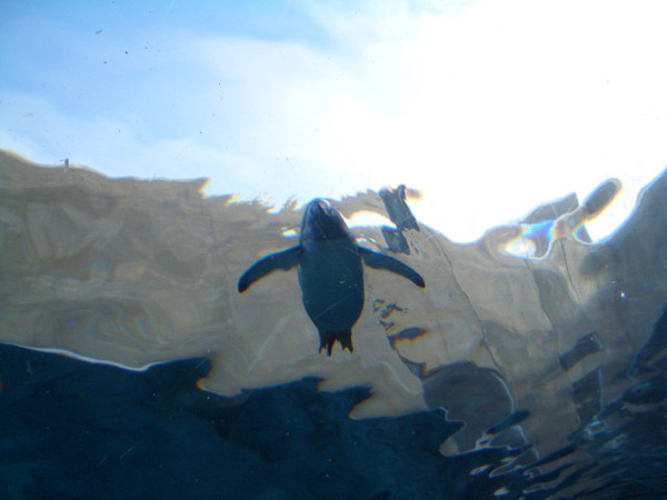 抬頭就能看見企鵝英勇的游姿