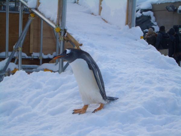 小企鵝自己出來散步