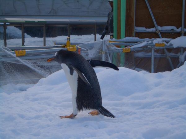 這是小企鵝太可愛了