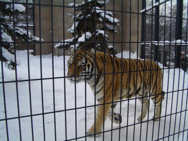 身體很緊實的一隻老虎