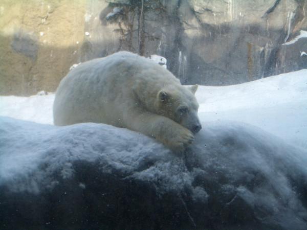 北極熊也有慵懶的時候