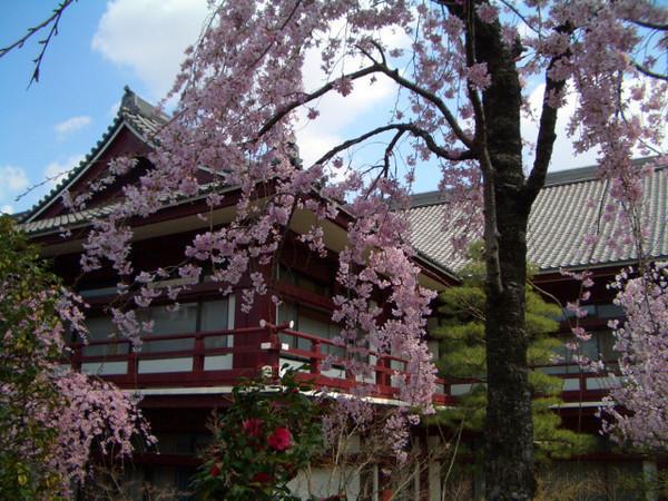 垂櫻開得比一般櫻花(如吉野櫻)要早