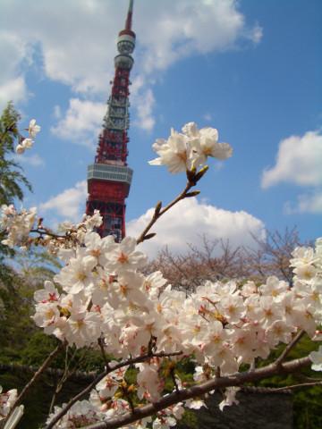 找到一個好角度,近照櫻花與鐵塔