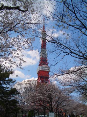 增上寺後方停車場的櫻花也很壯觀,同樣還未滿開