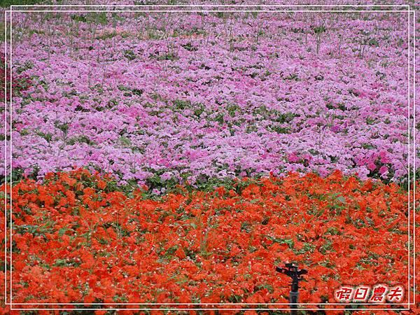 新社花海DSC06552.jpg
