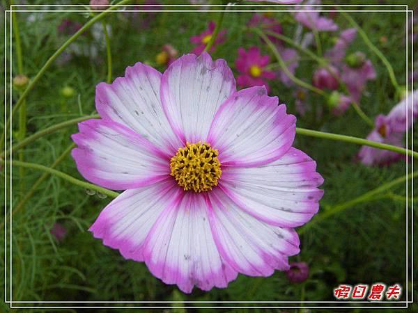 新社花海DSCF2515.jpg