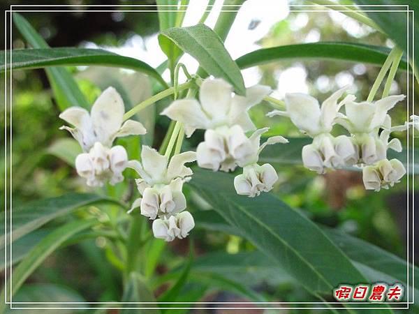 唐棉及樺斑蝶DSC09892.jpg