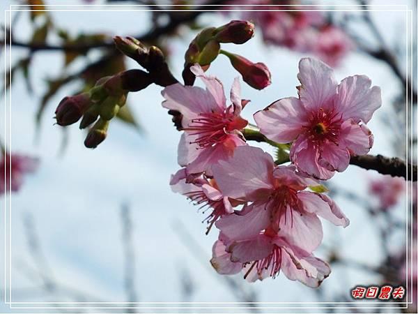芬園櫻花DSCF8810