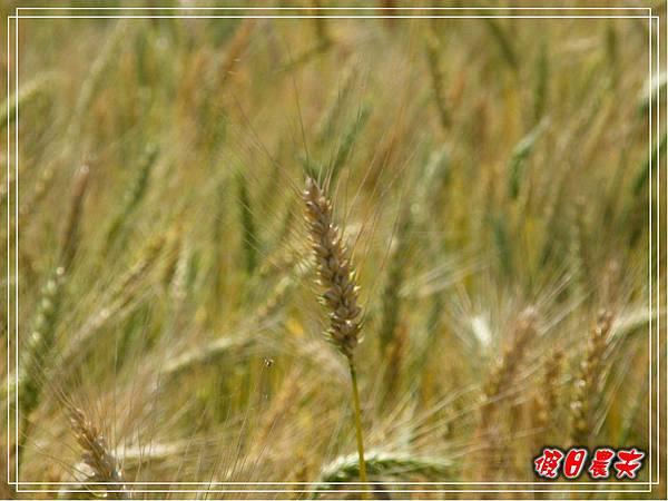 大雅小麥-趙家窯DSCF2669