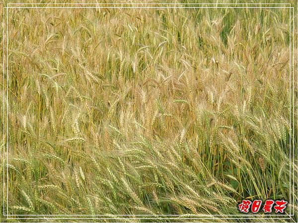 大雅小麥-寶興宮DSCF2586