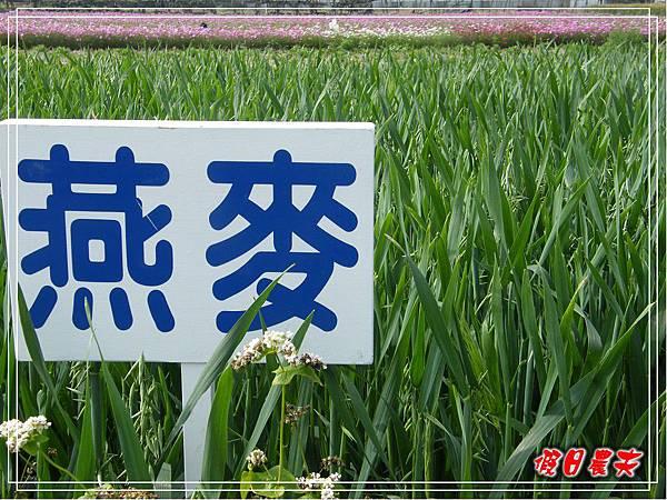 大雅小麥-寶興宮DSCF2610