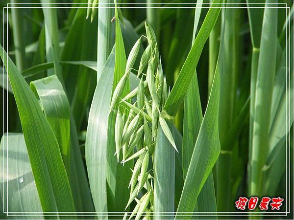 大雅小麥-寶興宮DSCF2611