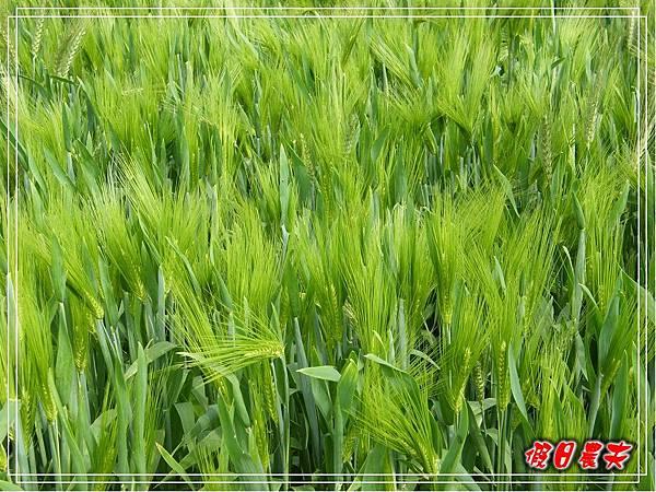 大雅小麥-寶興宮DSCF2614