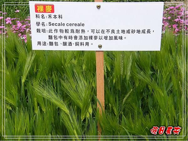 大雅小麥-寶興宮DSCF2624