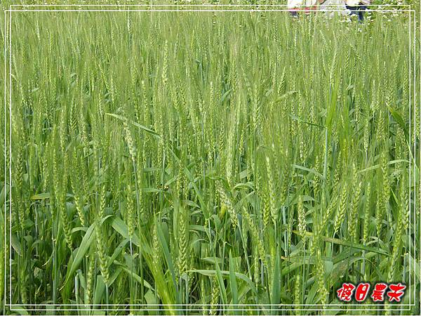 大雅小麥-寶興宮DSCF2625