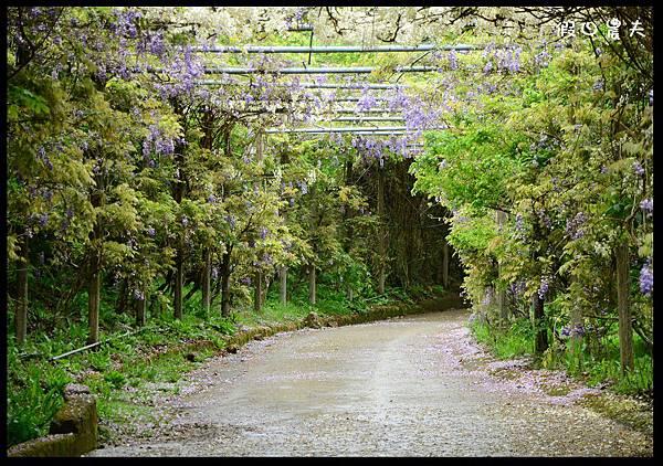 杉林溪紫藤隧道DSC_4059