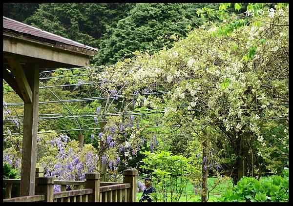 杉林溪紫藤隧道DSC_4085