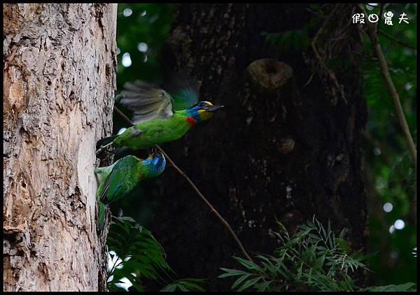 五色鳥DSC_6381-1