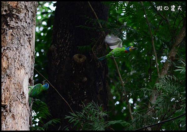 五色鳥DSC_6382-1