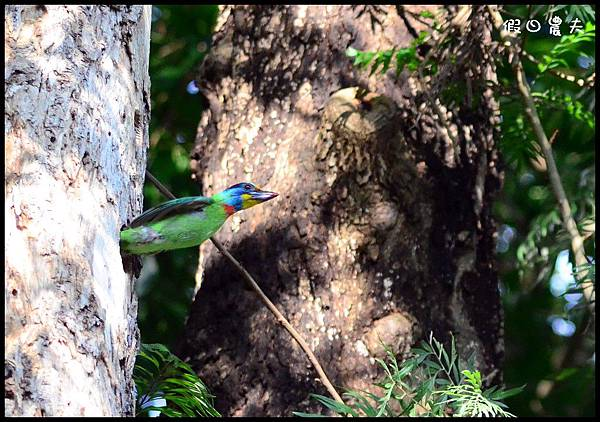 五色鳥DSC_6599-1