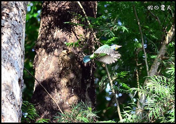 五色鳥DSC_6600-1