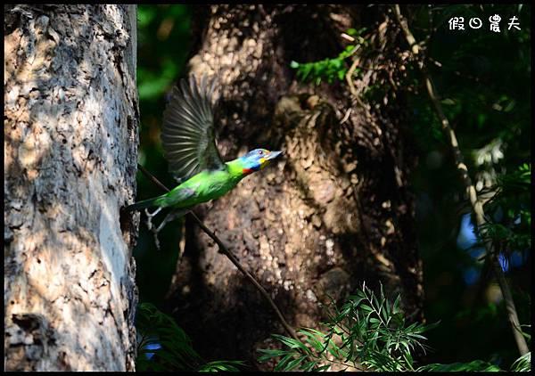 五色鳥DSC_6707
