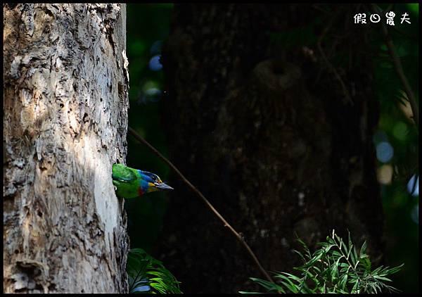 五色鳥DSC_6796