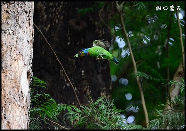 五色鳥DSC_7320