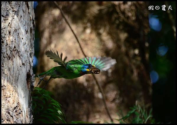 五色鳥DSC_7884