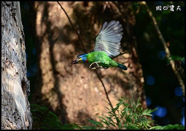 五色鳥DSC_9773