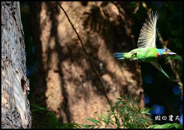 五色鳥DSC_9799