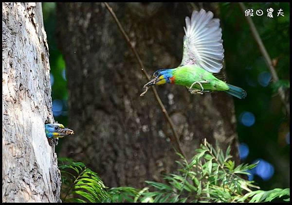 五色鳥DSC_9871-1