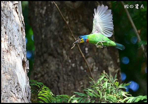五色鳥DSC_9871