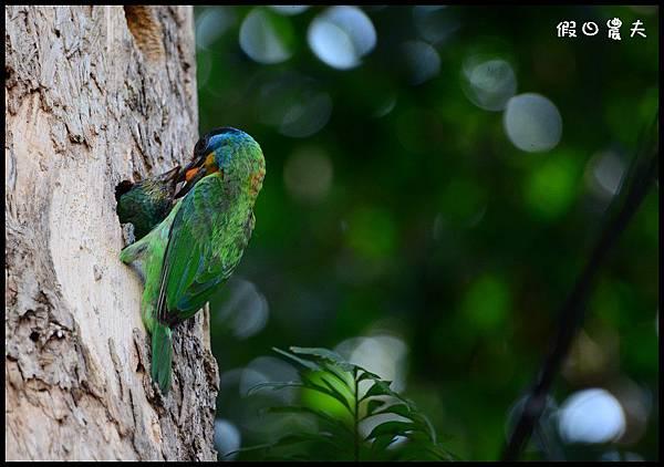 五色鳥DSC_2011