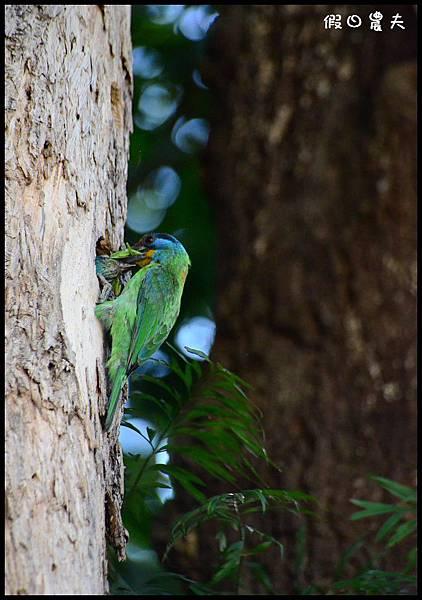 五色鳥DSC_2341