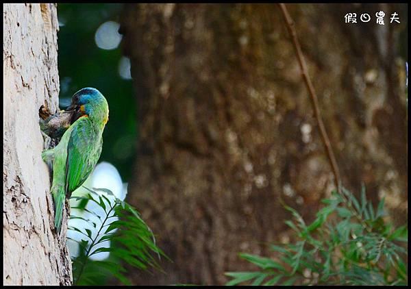 五色鳥DSC_2401
