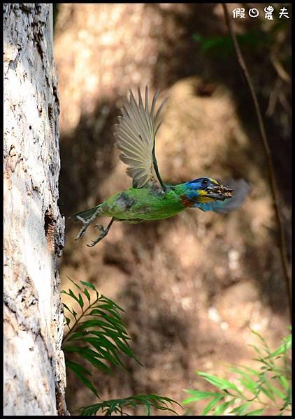 五色鳥DSC_3272