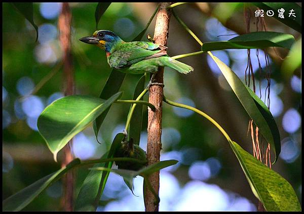 五色鳥DSC_3521