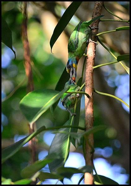 五色鳥DSC_3594