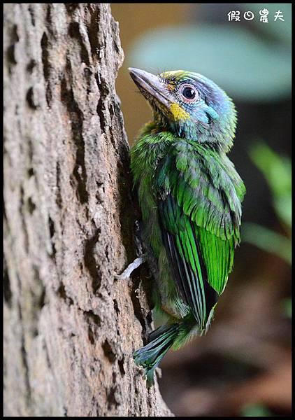 五色鳥DSC_3716