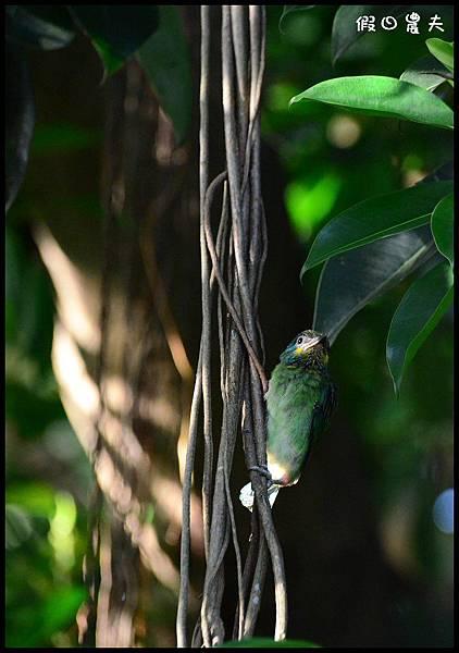 五色鳥DSC_3657