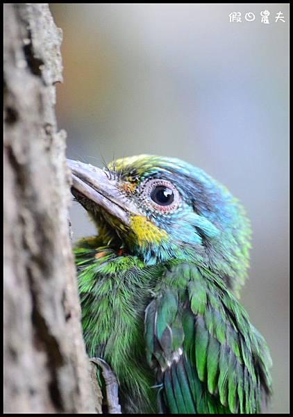 五色鳥DSC_3744