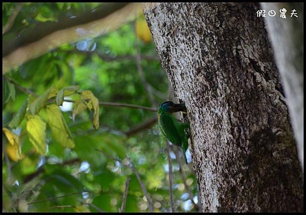 五色鳥DSC_8385