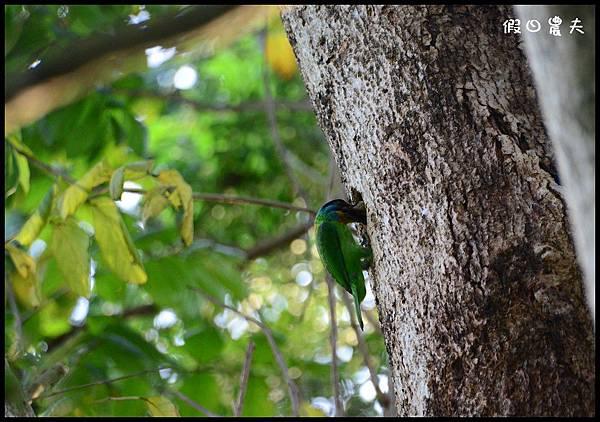 五色鳥DSC_8294