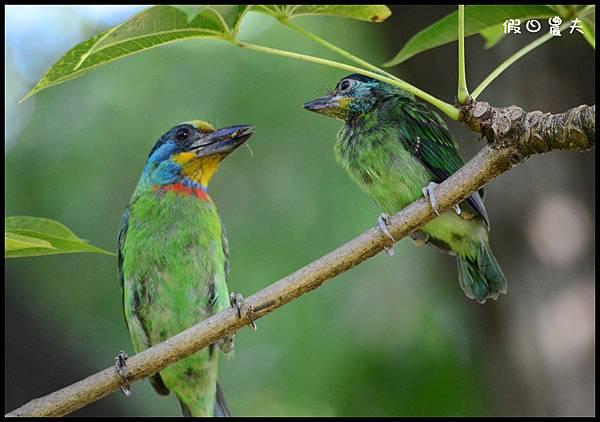 五色鳥DSC_3931