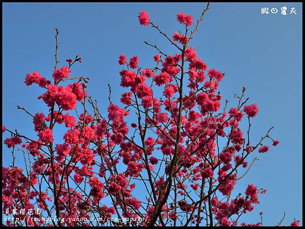 員農櫻花園DSC_2469