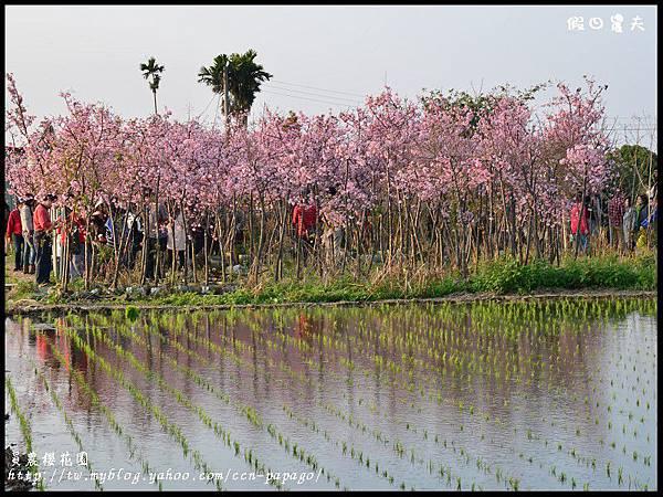 員農櫻花園DSC_2476