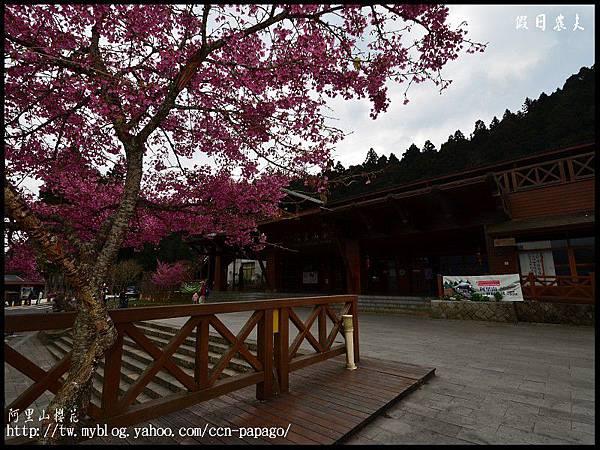 阿里山櫻花DSC_4044