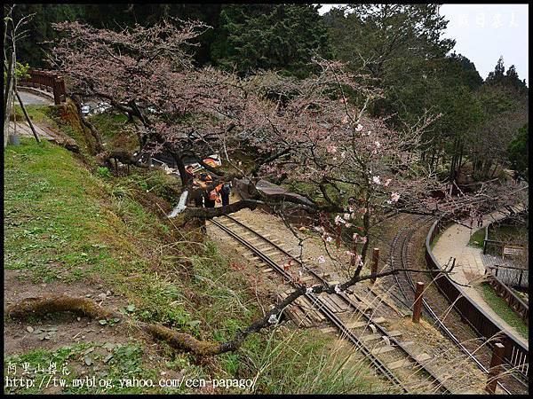阿里山櫻花DSC_4049