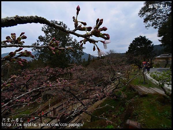 阿里山櫻花DSC_4053
